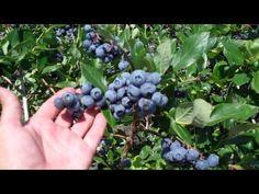black raspberry pruning instructions