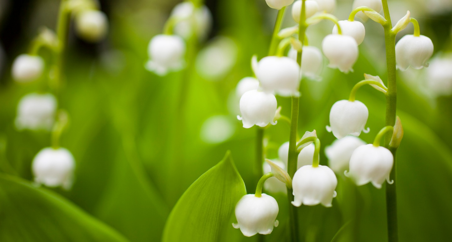 lily of the valley planting instructions
