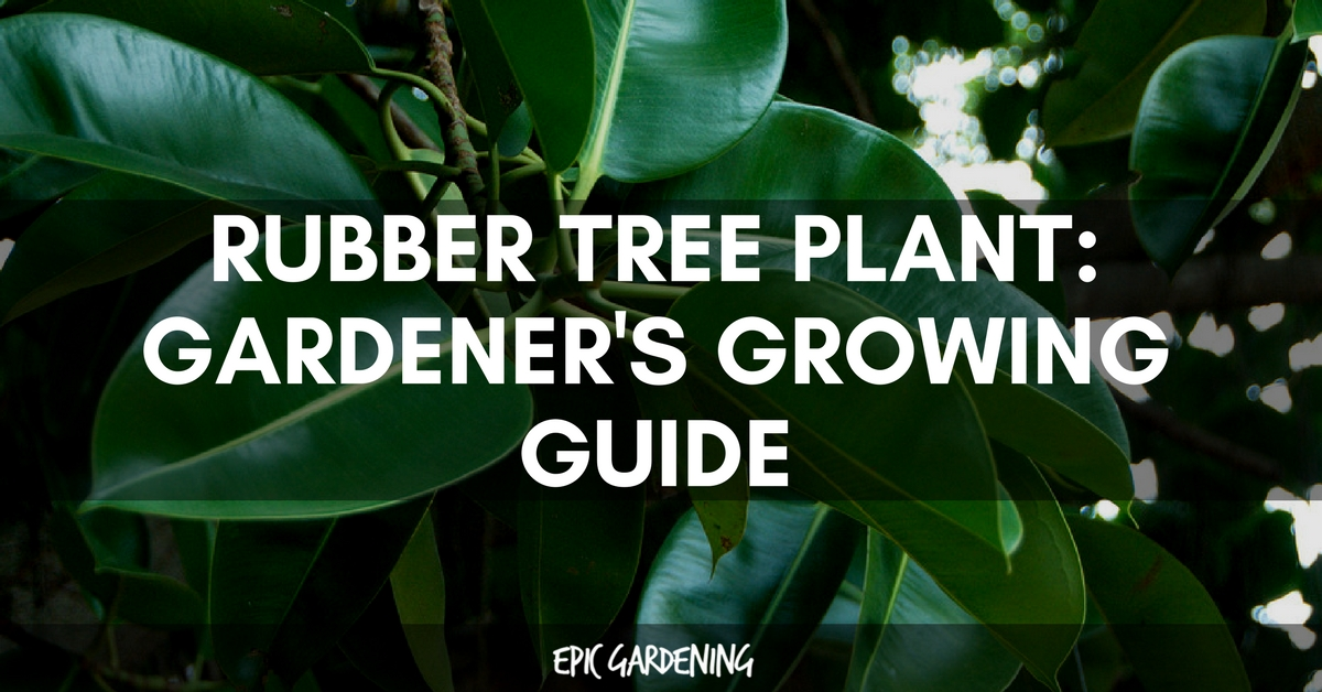rubber plant care instructions