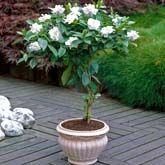 gardenia tree care instructions