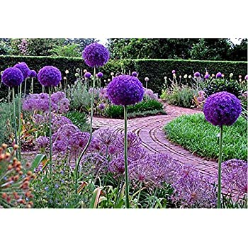 allium giganteum planting instructions