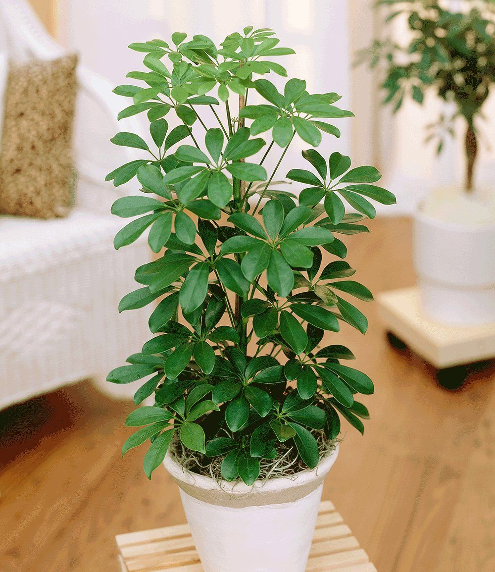schefflera plant care instructions