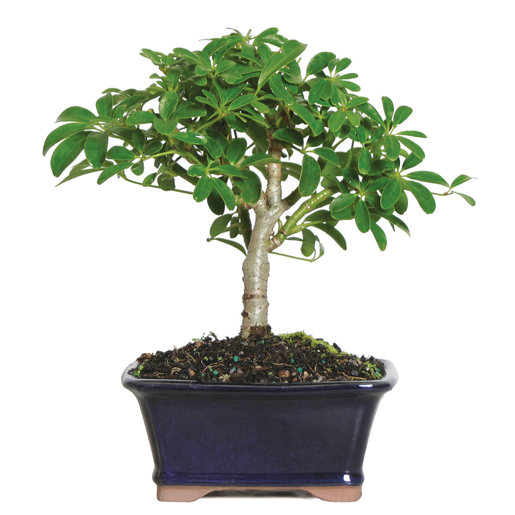 bonsai tree care instructions
