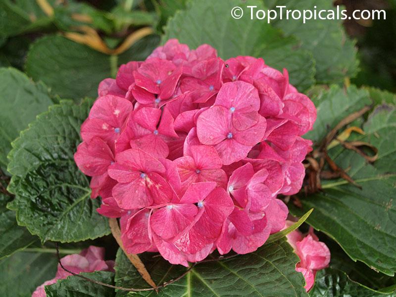 hydrangea petiolaris planting instructions