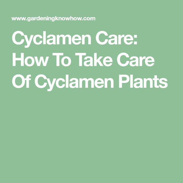 cyclamen outdoor care instructions