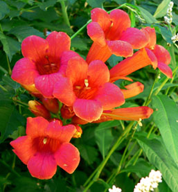 trumpet vine planting instructions
