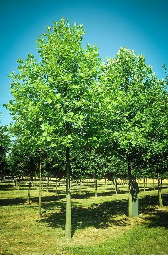 hybrid poplar planting instructions