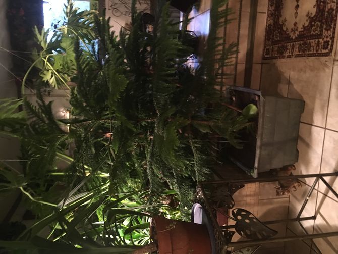 care instructions for norfolk island pine