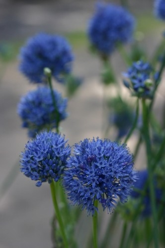 allium caeruleum planting instructions