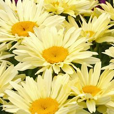 shasta daisy care instructions