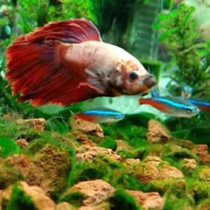 betta fish care instructions