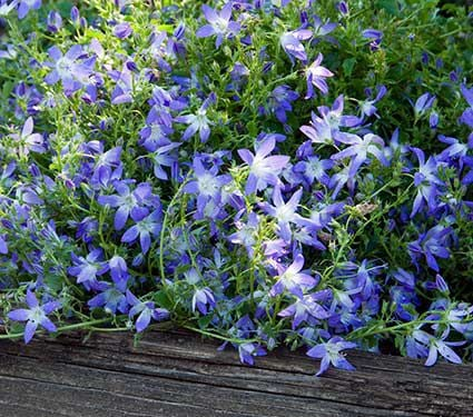 campanula plant care instructions