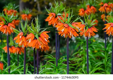 crown imperial planting instructions
