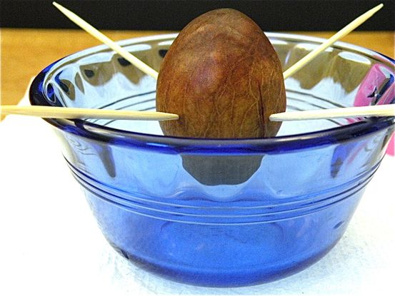 avocado seed planting instructions