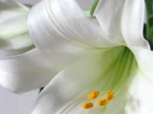 easter lily planting instructions