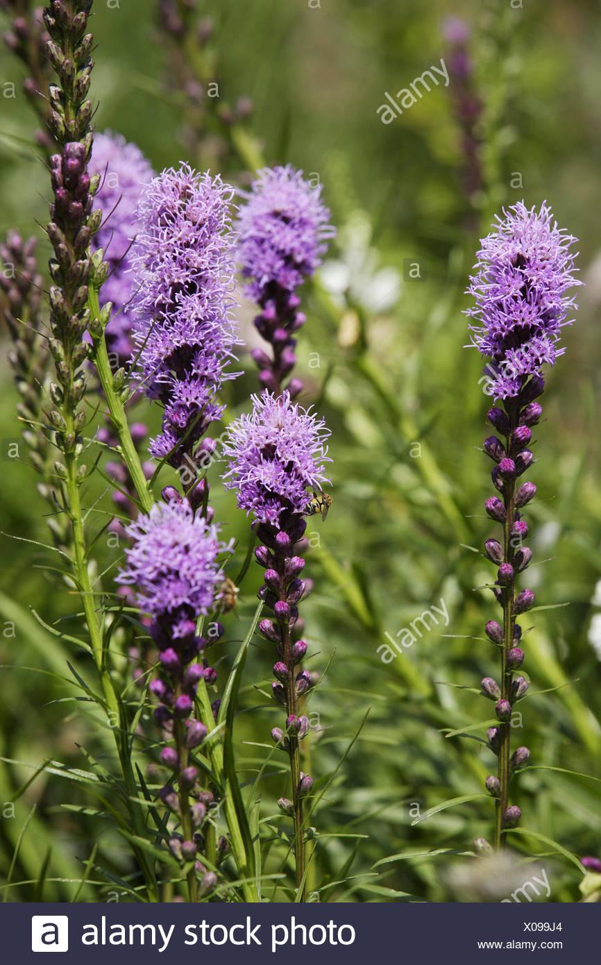 liatris spicata planting instructions