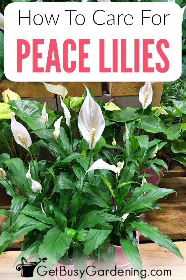lily plant care instructions
