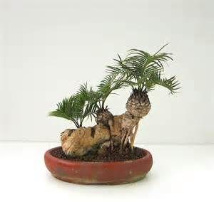 sago palm tree care instructions